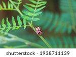 Tiny Ladybugs Mating On The...