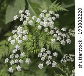 Inflorescence Of A Herb Of...