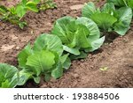 Cabbage Growing In The Garden....
