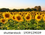 Sunflower Field With Blue Sky.