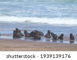 Group Of Small Seal Pups...