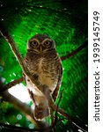The Spotted Owl In Green...