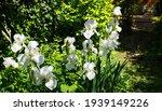 White Iris Germanica Or Bearded ...