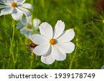 Mexican Aster Mexican Aster And ...