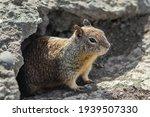 California Ground Squirrel ...
