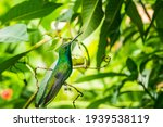 A Small Hummingbird Of The...