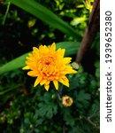 Golden Yellow Chrysanthemum...