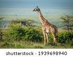 Masai giraffe stands by bushes...