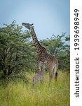 Masai Giraffe Browses By Baby...