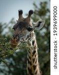 Close Up Of Masai Giraffe...