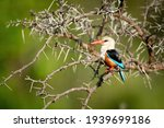 Grey Headed Kingfisher Perches...
