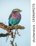 Lilac Breasted Roller Perches...