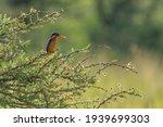 Malachite Kingfisher On...