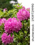 Beautiful Lilac Rhododendron...