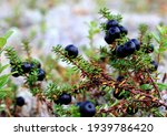 Small photo of Black berries of crowberry (Empetrum nigrum). Closeup of wild black crowberry. Glossy fruits of the crowberry shrub.