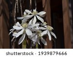 Flowering White Armand Clematis ...