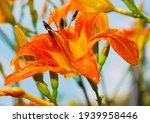 Bright Orange Daylily...