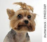 Stock photo yorkshire terrier portrait in white studio 194021369