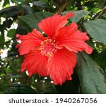 Red China Rose Flower Hibiscus