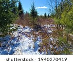 Large Evergreen Trees With...