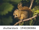 The Red Tailed Squirrel Is A...