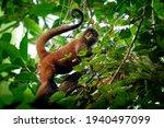 Geoffroys Spider Monkey  ...