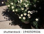 Blooming Garden Daysies...