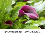 Purple Calla Lily With Many...