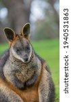 Western Grey Kangaroo Posing...