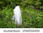 Pretty Great White Egret...