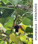 Mulberries On The Branch Of...
