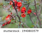 Beautiful Blooming Red Quince...
