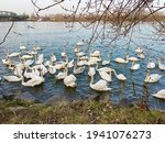 Many Swans And Gulls In Danube  ...