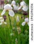 Bearded Iris Flower Bud  Iris...