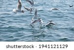 Groups Of Seagulls In Bosphorus ...