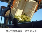 Green Wine Grapes Being Dumped...