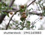 Ripe Fruit Of A Wild Pear Tree.