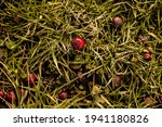 Old Dry Red Spoiled Rose Hips...