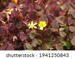 Burgundy Oxalis Flower In Plant ...