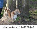 Grey Squirrel Has Grey Fur And...