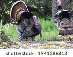 Wild Male Turkeys In Early...