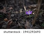 A Blooming Violet Crocus Among...