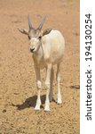 Small photo of Young addax (Addax nasomaculatus), also known as the white antelope and the screwhorn antelope, is an antelope of the genus Addax, that lives in the Sahara desert.
