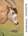Small photo of Addax (Addax nasomaculatus), also known as the white antelope and the screwhorn antelope, is an antelope of the genus Addax, that lives in the Sahara desert.