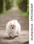 Image Of Pomeranian Spitz In...