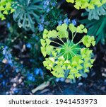 Bright Green Yellow Flowers Of...