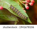 Monarch Butterfly Caterpillar....