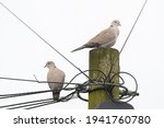 Collared Doves On Telegraph...