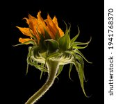 Sunflower Flower With Petals...