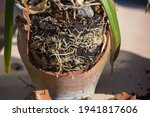 Agapanthus Pot Bound And A...